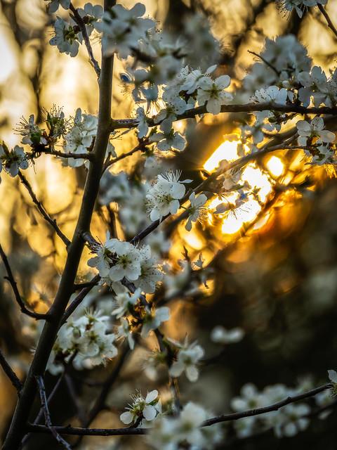 plum tree sunset - Sonnenuntergang im Pflaumenbaum