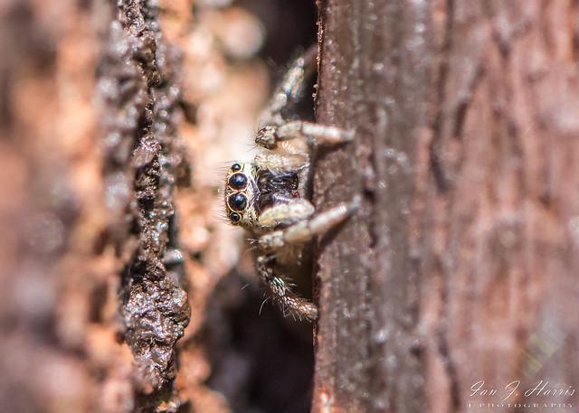 Jumping Spider Macro ( Explored ) #270
