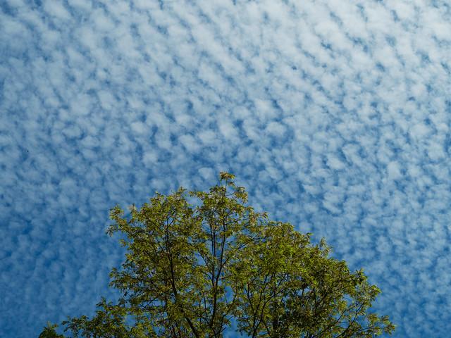 Just a tree in a mackerel sky