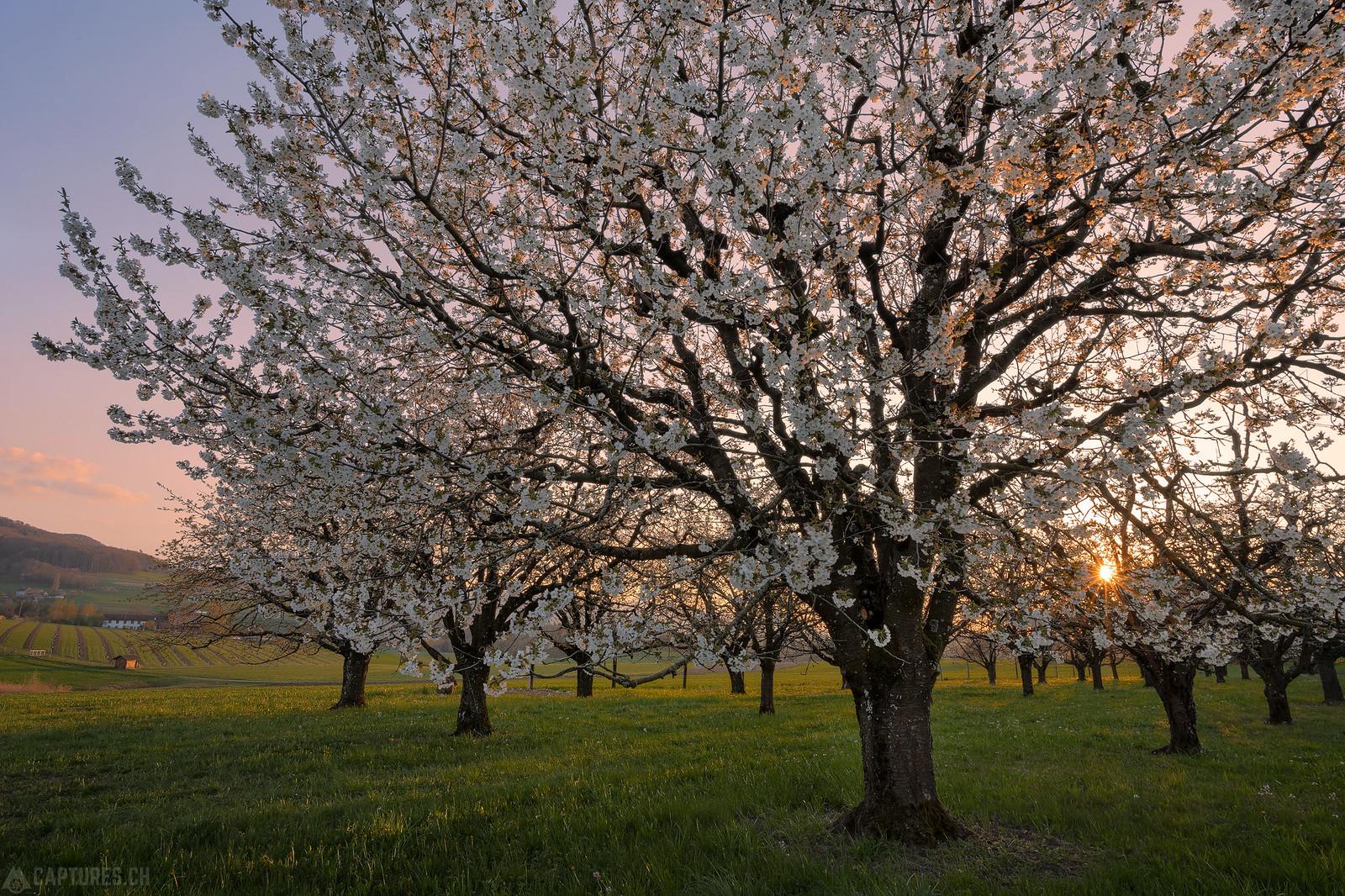 Sunstar in the cherry tree - Rünenberg