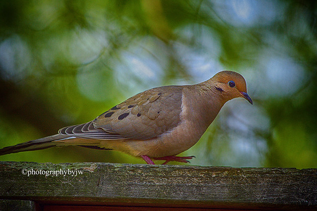 Visiting Dove