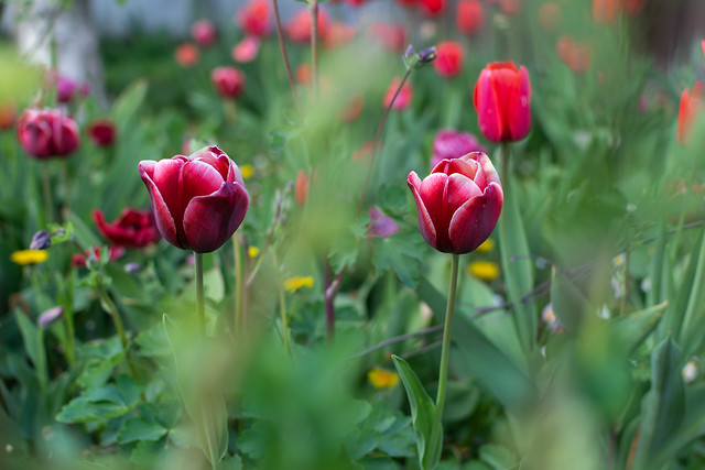 Tulips _ parallel lives symmetric shadows