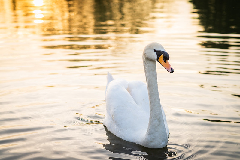 Swan swimming in the Cam river