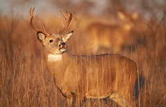 Lip Curl, Whitetail Buck, Shenandoah National Park