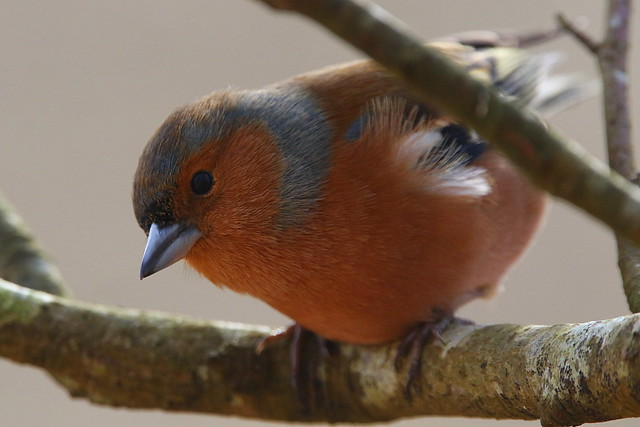 Male Chaffinch at Denny Wood, New Forest