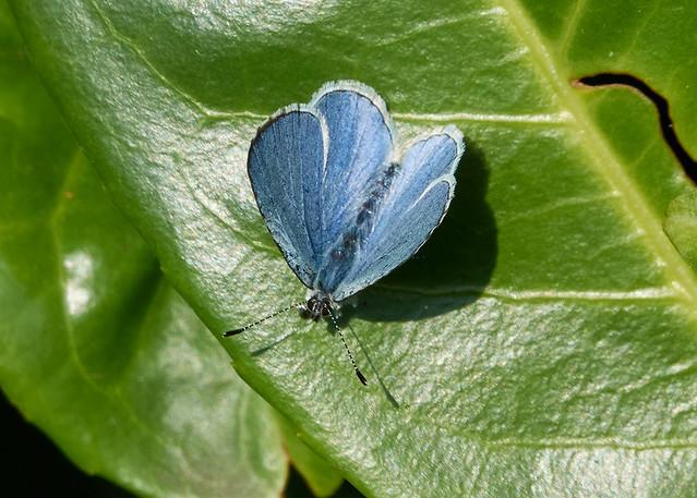 Garden Holly blue