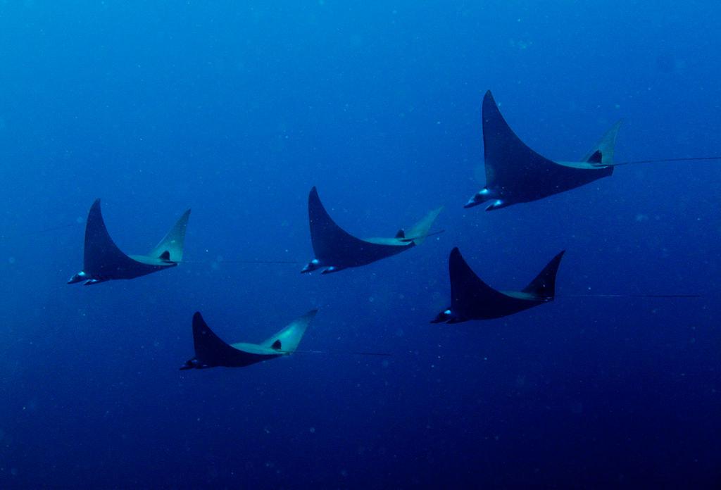 蝠鱝魚類徜徉於索羅門群島海域。圖片來源:Leonard Clifford via Wikimedia Commons(CC BY 2.0)
