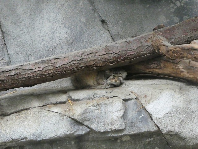 Columbus Zoo - Pallas's Cat