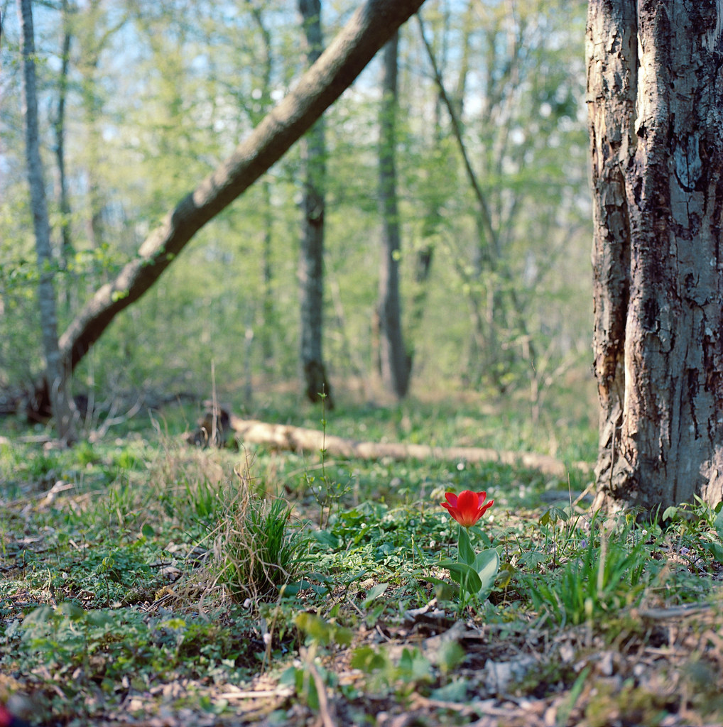 Lonesome tulip