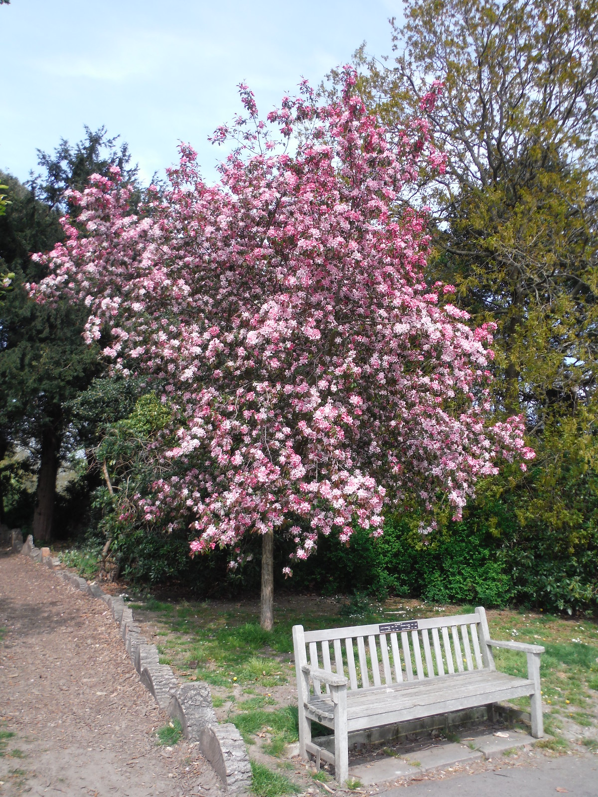 Some Flowering Tree, with bench SWC Short Walk 46 - Beckenham Place Park (Ravensbourne to Beckenham Hill)