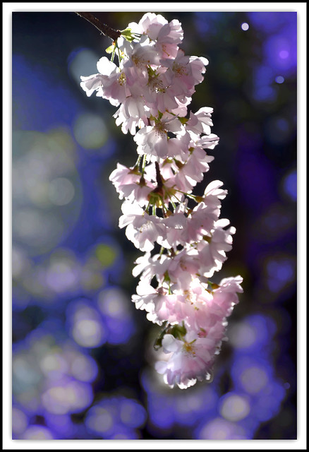 Flower Of The Day _ cherry Blossoms and Bokeh.