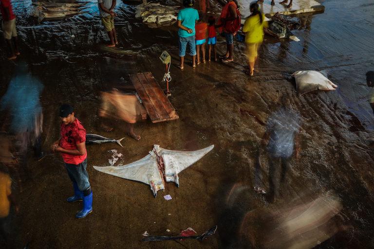 2018年出現在斯里蘭卡一處魚市場的鬼蝠魟。圖片來源:Simon Hilbourne(Manta-Trust)