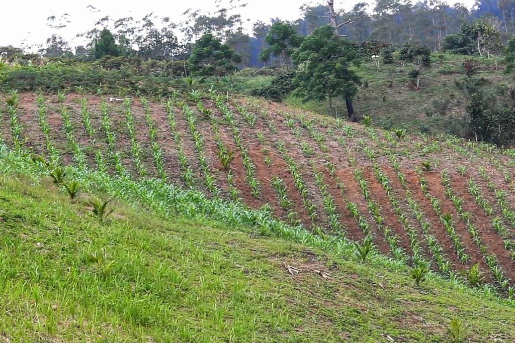 西哈波拉族在北蘇門答臘省的塔巴努里高地上實行自給農業。圖片來源:Ayat S. Karokaro(Mongabay Indonesia)