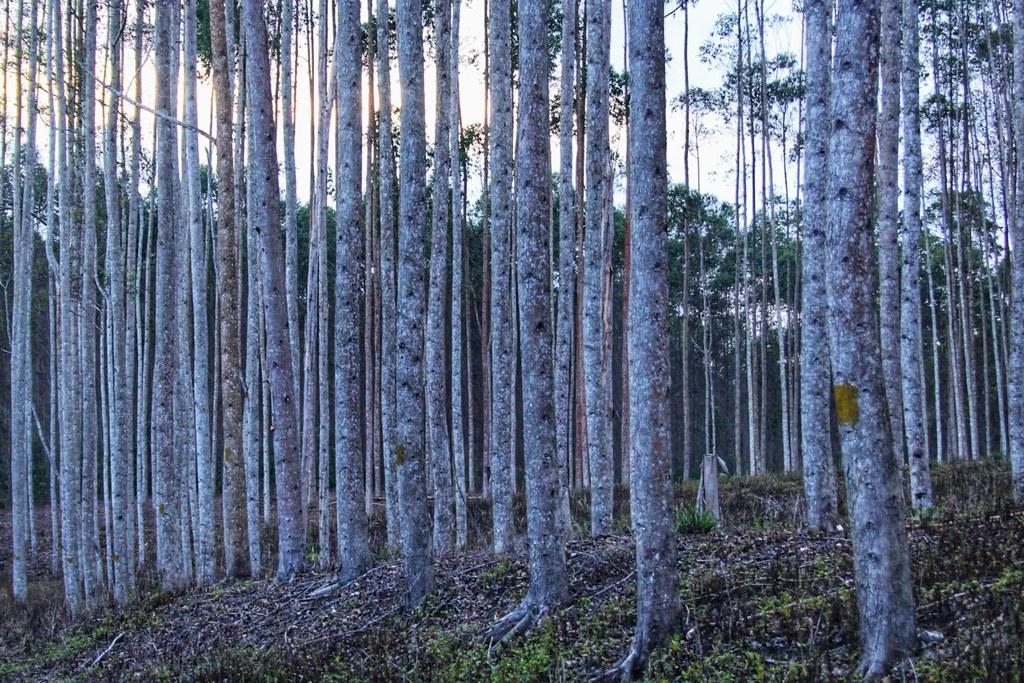 在這塊雙方爭論不休的土地上,一棵棵桉樹已然矗立其中。