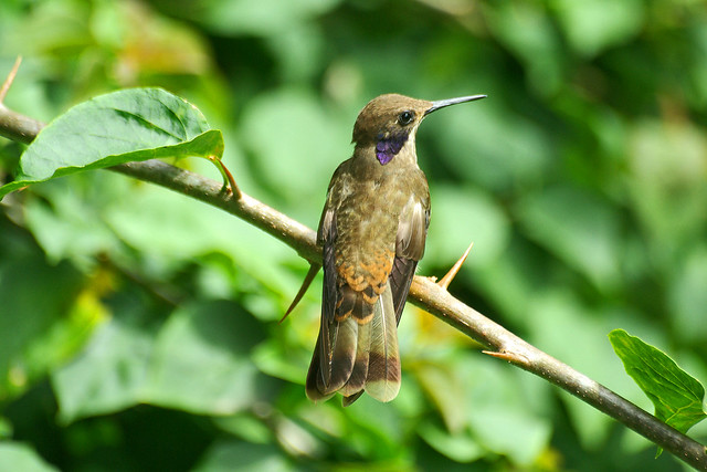 Brown Violet-ear (Colibri delphinae).  Rancho Naturalista. Costa Rica.