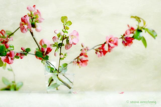 Flowering Quince Still Life