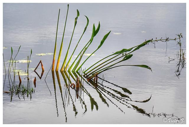Sagittaria lancifolia Lake Mary Florida -135