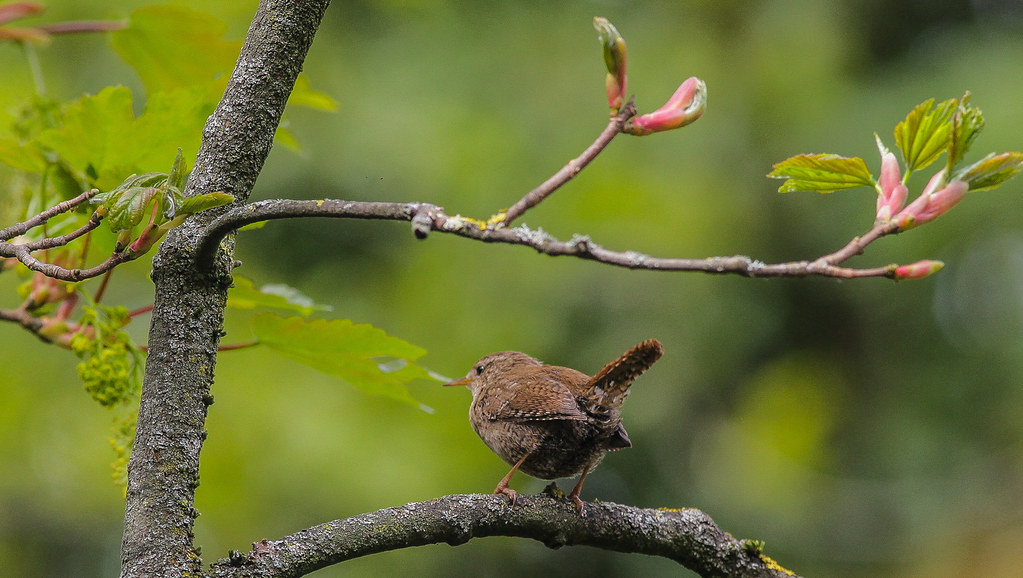 The Beautiful Wren..