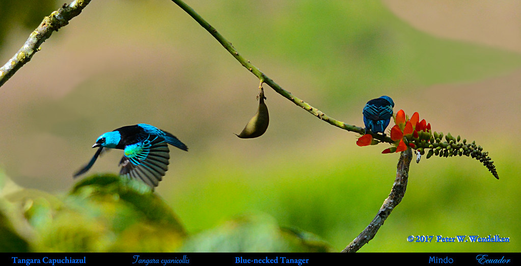 BLUE-NECKED TANAGERS Pair Tangara cyanicollis Seeking Porotón Nectar in Mindo, ECUADOR. Tanager Photo by Peter Wendelken.