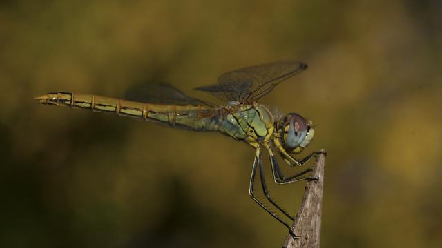 Magic dragonfly