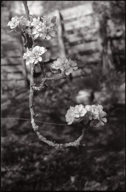 Poirier en fleur