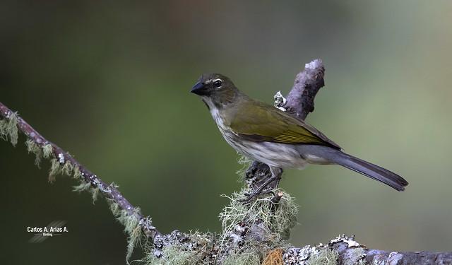 Saltator striatipectus