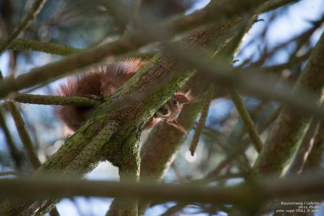 trächtiges Eichhörnchen | pregnant squirrel  | EXPLORE