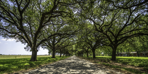 centralunit fortbendcounty houston sugarland texas texashistoricalcommission usa unitedstatesofamerica decay decaying historic image landscape oaktrees old photo photograph prison trees f63 mabrycampbell june 2017 june82017 20170608campbellh6a4975pano 17mm ¹⁄₁₂₅sec iso100 tse17mmf4l