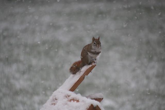 Backyard Squirrels at Home (Saline, Michigan) - 108/2020 311/P365Year12 4328/P365all-time (April 17, 2020)