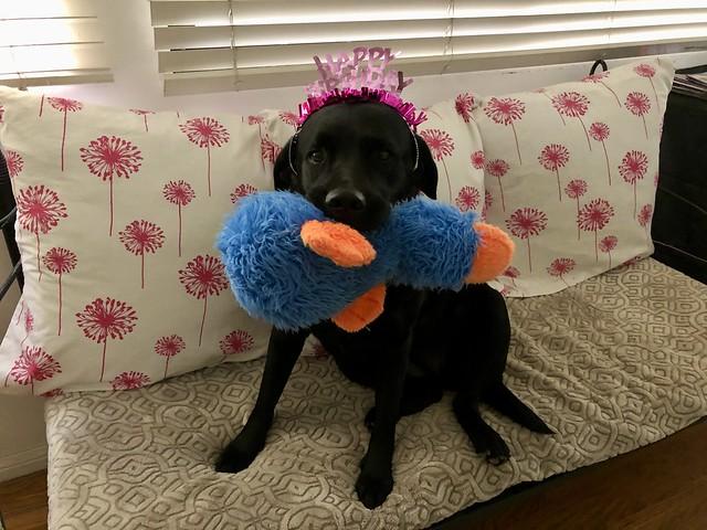 the tiny Labrador turns 3