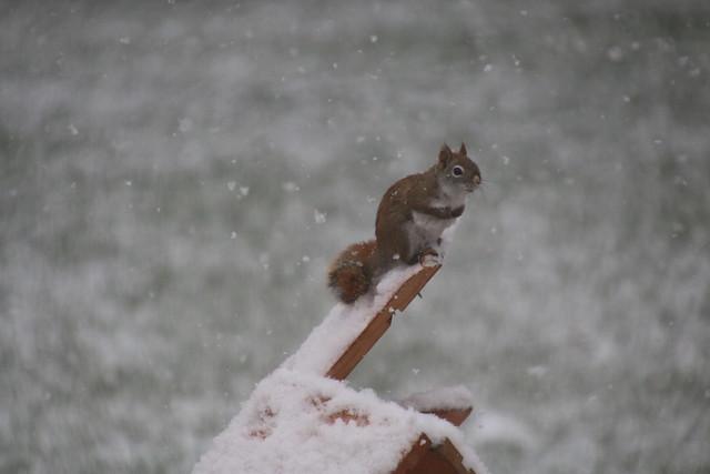 Backyard Squirrels at Home (Saline, Michigan) - April 17th, 2020