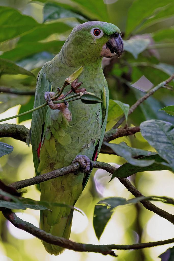 Мюллеров амазон, Amazona farinosa, Mealy Parrot