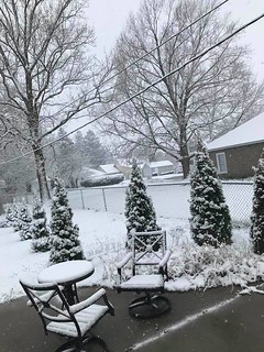 Photo #3 - Snow On the Pine Trees in my Back Yard - Patio - Friday April 17, 2020