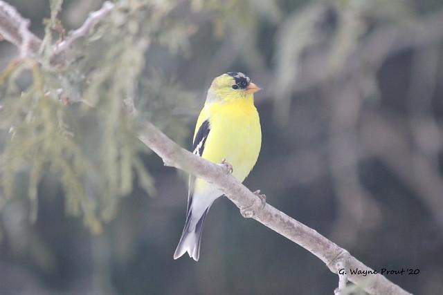American Goldfinch (Carduelis tristis)