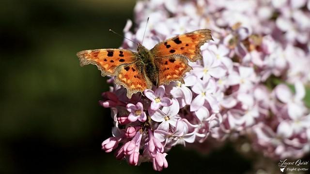 Papillon, Butterflies & Lilas