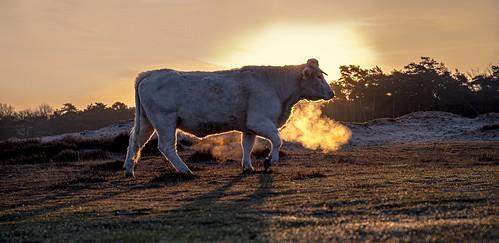 laren noordholland nederland charolais bluk hilversum sunrise cffaa