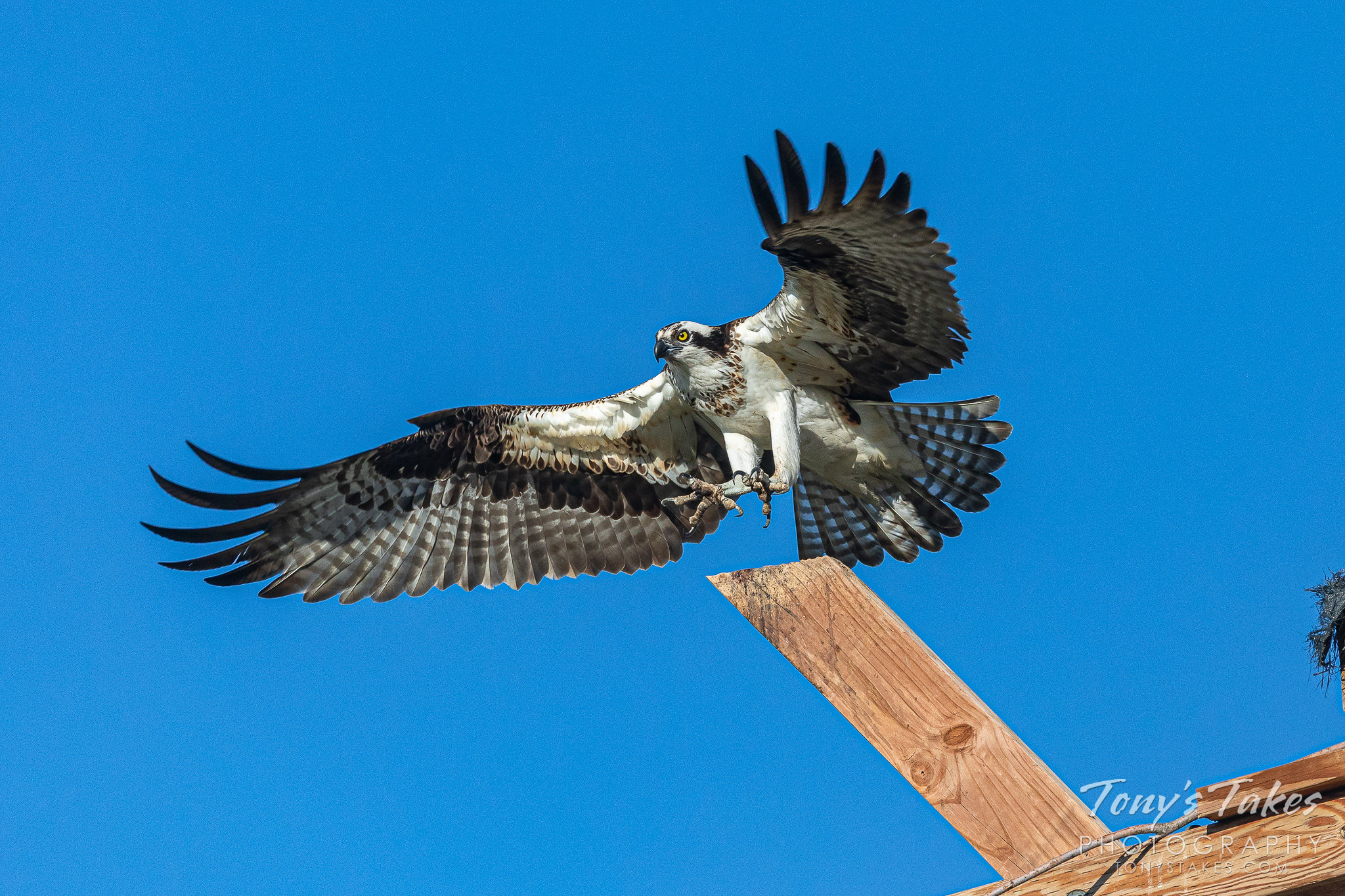 Female osprey performs a touch-and-go
