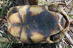 Testudinidae: Chelonoidis carbonarius (Red-footed Tortoise)
