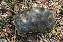 Testudinidae: Chelonoidis carbonarius (Red-footed Tortoise)