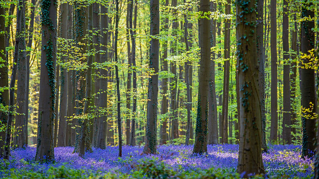 Another look into the magical forest of Hallerbos