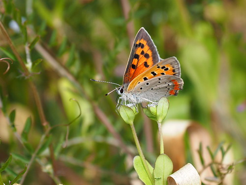 Common copper butterfly (Lycaena phlaeas, ベニシジミ) | by Greg Peterson in Japan
