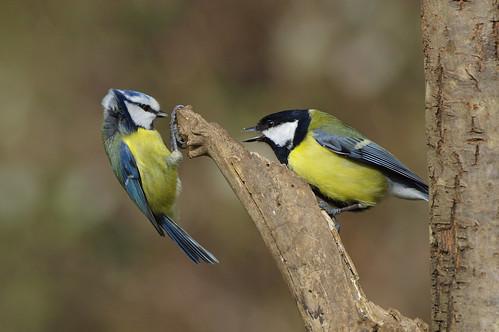 barnwellcountrypark cyanistescaeruleus northamptonshire parusmajor bird bluetit greattit nature wild wildlife woodland