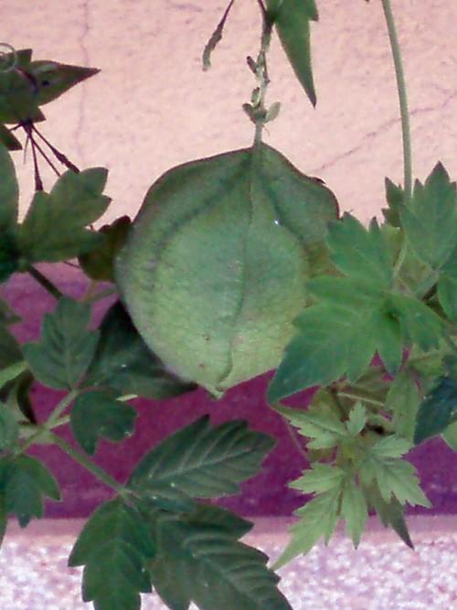 Cardiospermum halicacabum 49787865937_e2bc1aa8b3_o