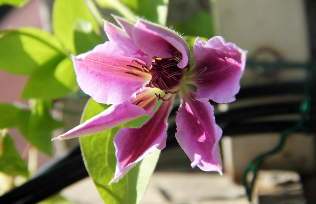Clematis_NellyMoser_01