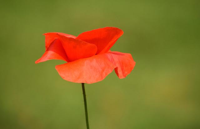 Orange Poppy (solo flower)