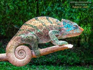 Mount Amber Globe-horned Chameleon (Calumma ambreense) - FB_IMG_1587190939156-01