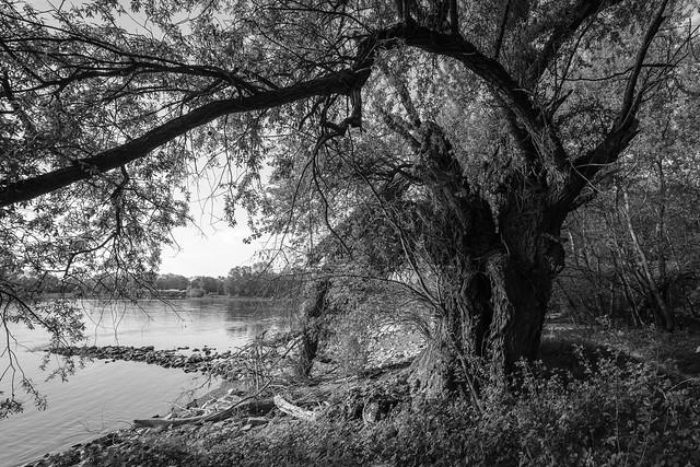 Weide am Rhein bei Brühl, Germany