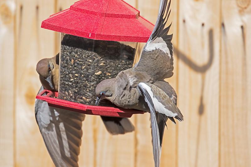 White--wing-Doves-20-7D2-041120