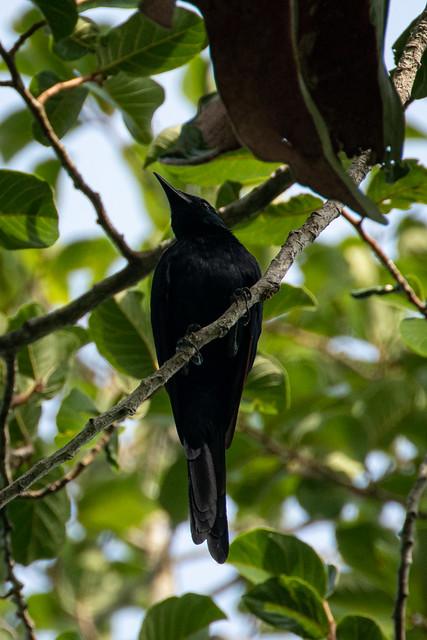Onychognathus fulgidus (Forest Chestnut-winged Starling) - Sturnidae - Kakum National Park, Central Region, Ghana-2