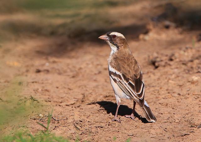 Mahali à sourcils blancs / White-browed Sparrow-Weaver